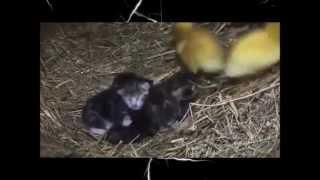 Заботливая мама кошка воспитывает котят и утят! Какая прелесть