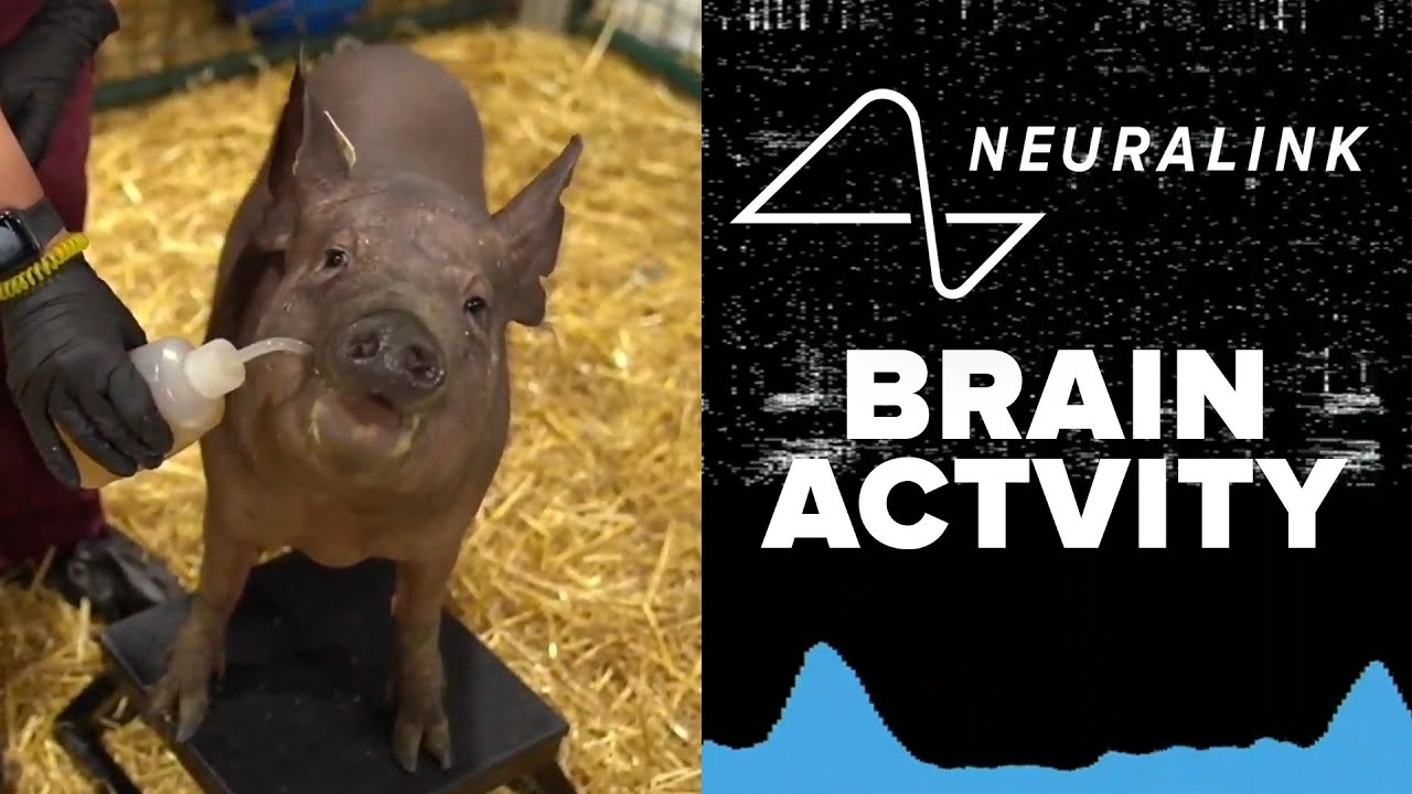 With Elon Musk's help, 'Three Little Pigs' demonstrate Neuralink's ...