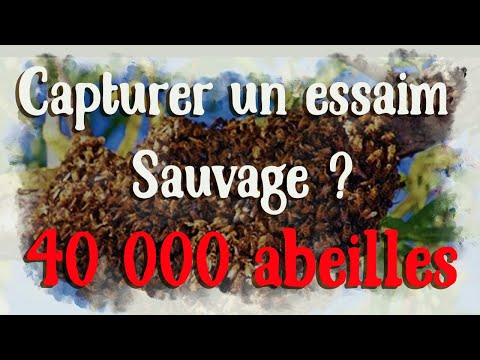 comment capturer un essaim sauvage 40 000abeilles les abeilles et l 39 essaimage youtube. Black Bedroom Furniture Sets. Home Design Ideas