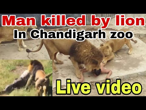 Chattbir zoo incident - ਮੌਤ ਦੀ Live ਵੀਡੀਓ || Man killed by Lion || The Khalas TV