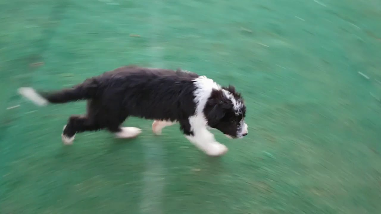 Bearded Border Collie Pup You