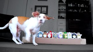 Dog Attacked by Furby Army: Cute Dog Maymo