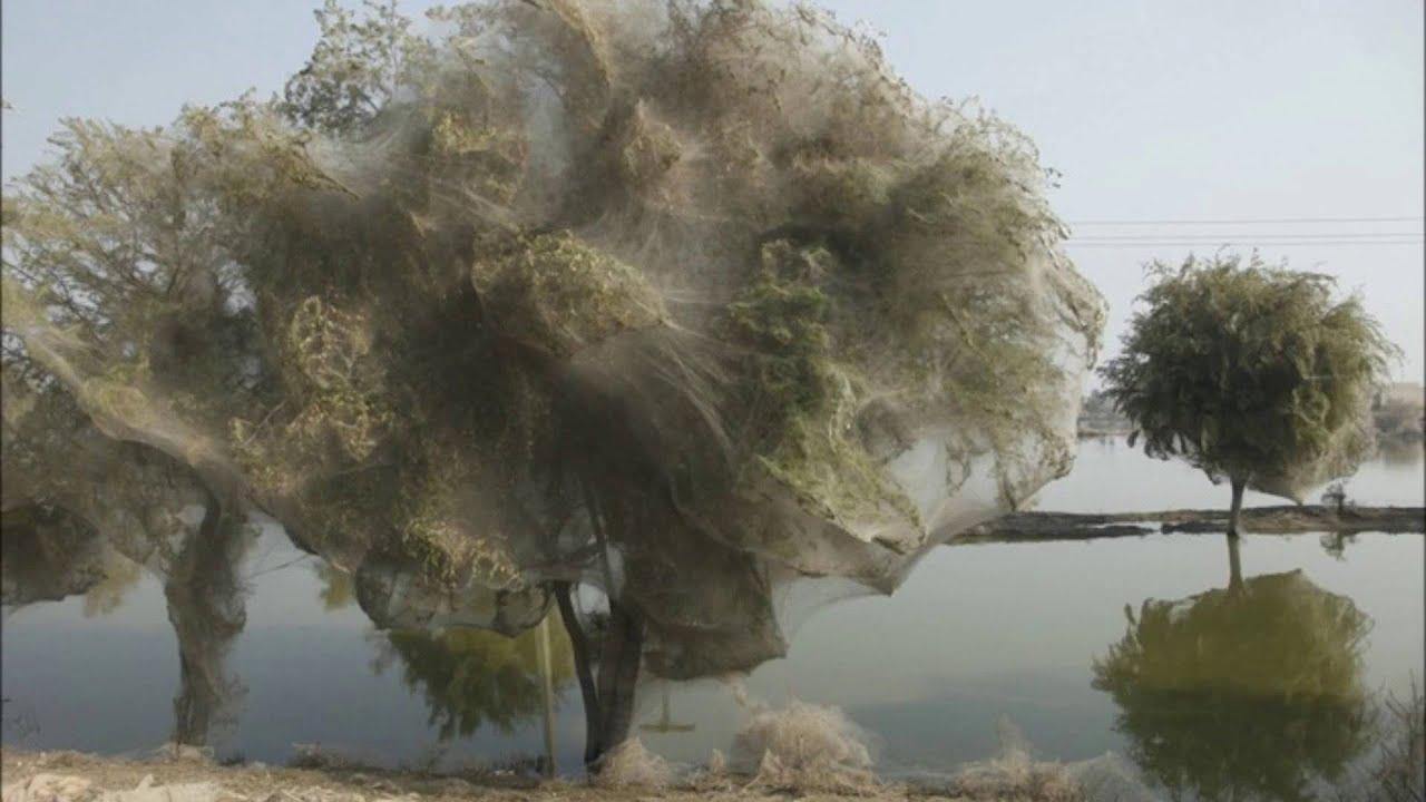 trees cocooned in spider webs after pakistan flood hd 2014 youtube. Black Bedroom Furniture Sets. Home Design Ideas