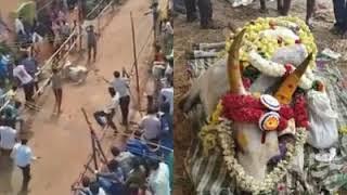 jallikattu bull death//jallikattu tamil //Today news in tamilnadu//jallikattu unexpected accident