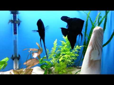 DD Black Angelfish