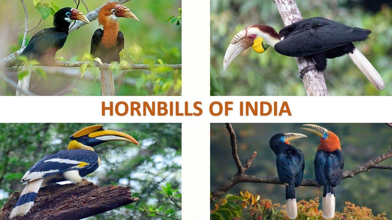 Hornbills of India 🇮🇳