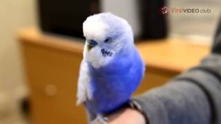 BUDGIE TALKS LIKE R2D2