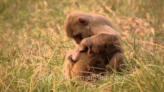 Monkey bonding : Young infant monkey clings to its mother