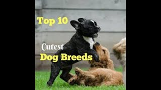 Top 10 cute dogs | Baby blue Dogs