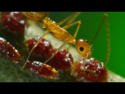 Yellow Crazy Ants Kill Red Crab | Planet Earth II | BBC Earth