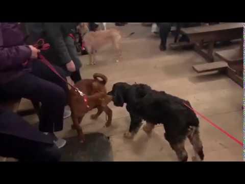 Perros y gatos, bendecidos y divinos en Lugo por San Antón