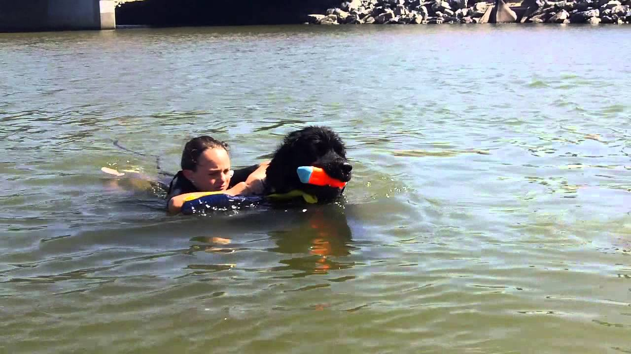 Newfoundland Search And Rescue Dog