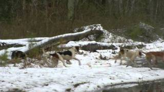 A Red Fox runs a snowy log to fool his pursuers, a purebred pack of...
