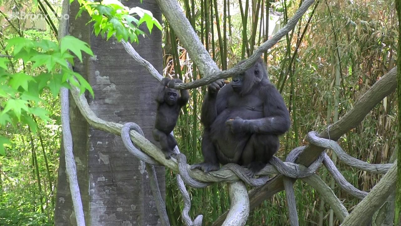 Gorilla Toddlers On Exhibit Bronx Zoo Youtube