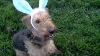 Chicago Dog Agility Bunny Hop 2012.mpg