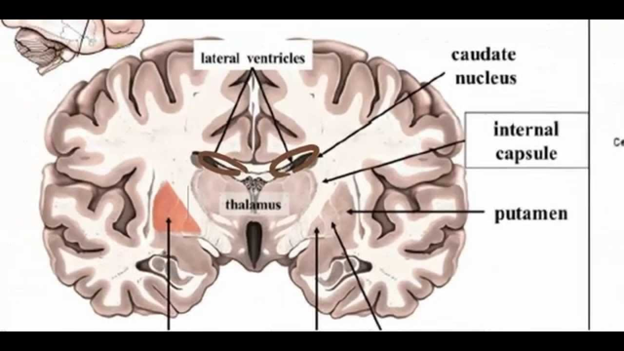basal ganglia anatomy 1 youtube