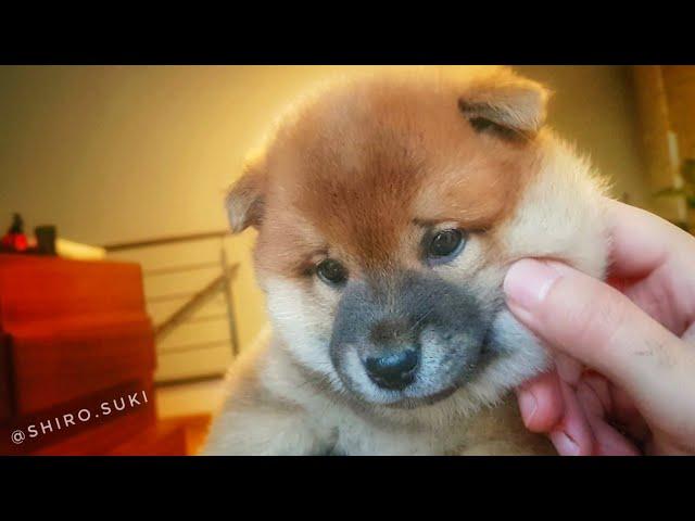 Lion cub or Shiba Inu pup?
