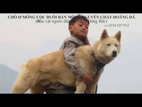 Chó H'mông Cộc Đuôi bản Mông hoang dã/ ĐÔI MẮT CHÓ SÓI HOANG/ Việt Nam Chó bản địa