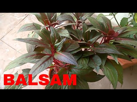 Balsam plant care and tips