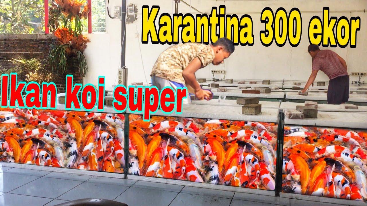 Part 1 datang 100 an ekor koi jenis Kiko superan #ikankoi #koifish #koilokal