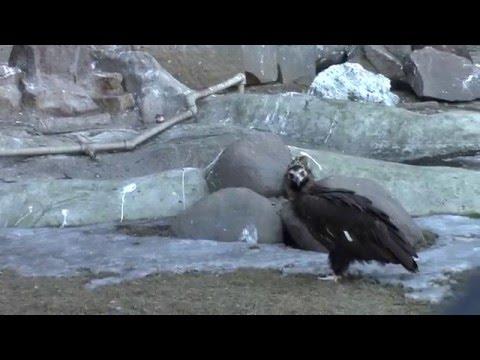Eagles In The Moscow Zoo / Орлы в Московском Зоопарке