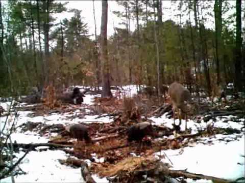 turkey and deer feeding .wmv