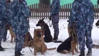 Кинологи ГУФСИН в Краснотурьинске тренировали собак в задержании фигуранта, обыске  и др.