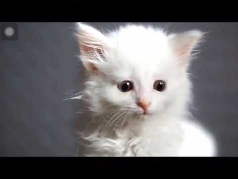 Cute cats sub for the cute singing cats