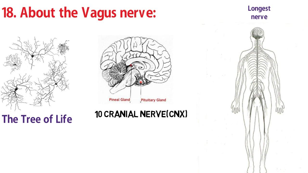 Vagus Nerve Tree Of Life Sacred Secretion Part 20 Youtube