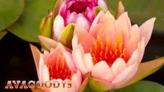 Красивые распускающиеся цветы(Красивые распускающиеся цветы. Красивые видео и музыка для релаксации. http://www.youtube.com/channel/UCJA1LfJtZexv7tODKBkdtuA., 2015-11-26T15:23:06.000Z)