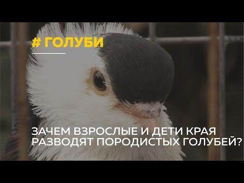 Любовь и голуби: зачем известные люди Барнаула разводят породистых голубей?