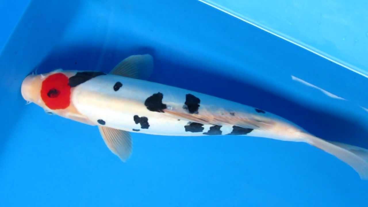 14 doitsu tancho sanke koi fish youtube for Sanke koi fish