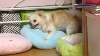 愛犬チワワのみるくがレイザーラモンHGになりました…( ゚Д゚) 見てはいけ...