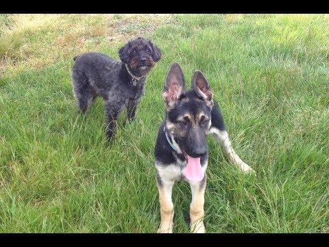Schnoodle vs German Shepherd