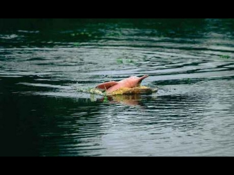 Endangered Amazon Animals: Pink River Dolphins (Boto) In the Peruvian Amazon