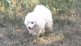 белые медвежата (самоед) самоедская лайка.