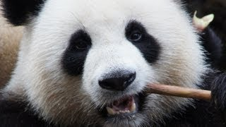 Giant panda close-up eating