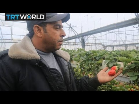 Strawberries help boost Gaza's economy | Money Talks