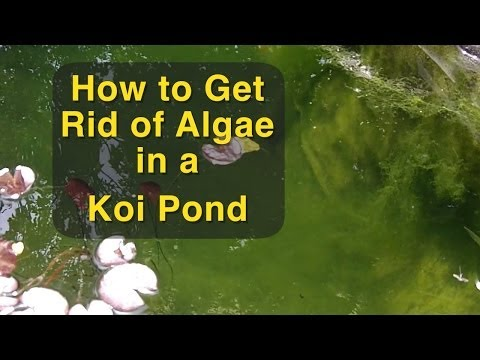 Controlling algae and weeds in a pond doovi for Koi pond algae control
