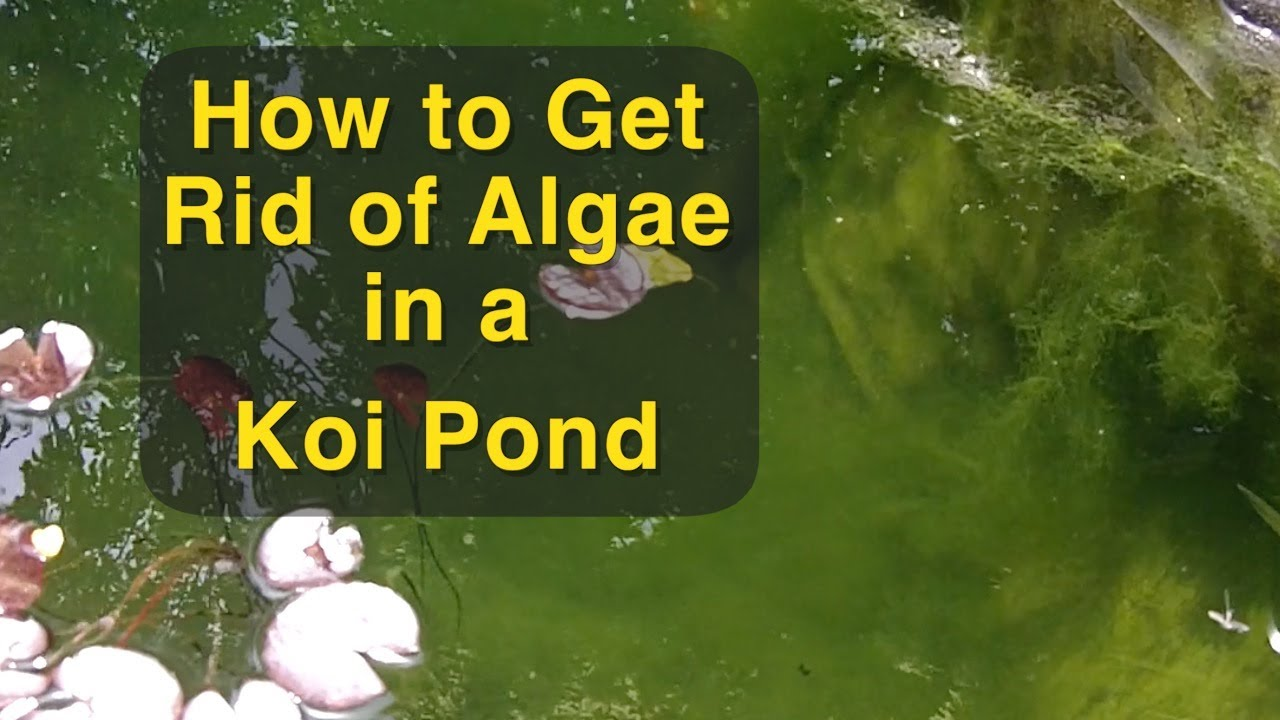 How to get rid of algae in a koi pond youtube for Koi fish pond help