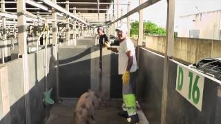 L'abattage du cochon en Martinique