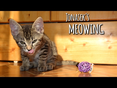 Kitten meowing & talking to his humom