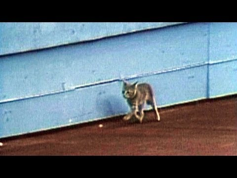 A kitten runs amock at the Seattle Kingdome