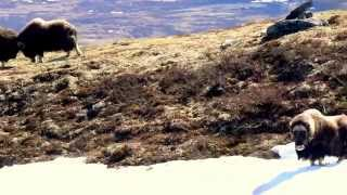 musk ox fight in dovrefjell with oppdal safari