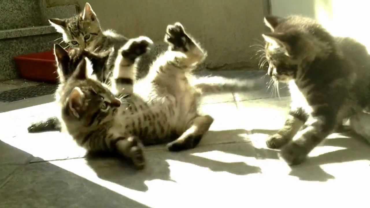 Risultati immagini per cuccioli di gatto che giocano