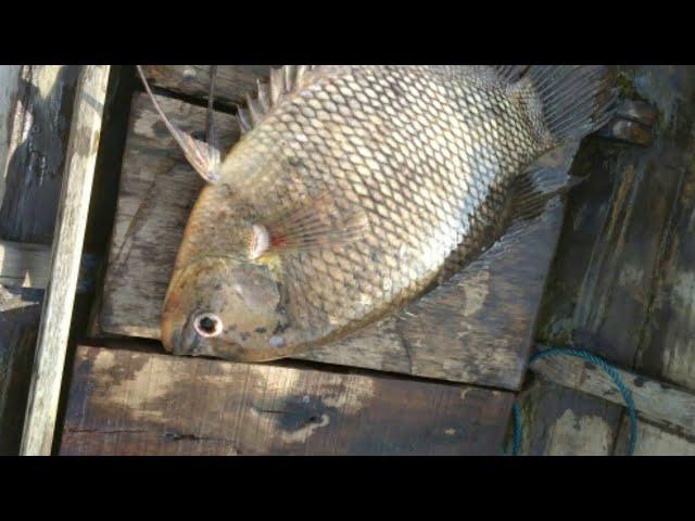 Tips tentang  ikan gurame atau kaloi