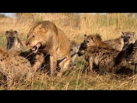 Lions Documentary Hungry Lion Eats and Destroys Hyena - World Wildlife  National Geographic