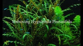 Unboxing Hygrophila Pinnatifida Aquarium Plants