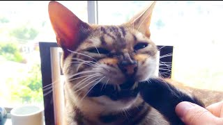 Bengal cat swallows his own tail