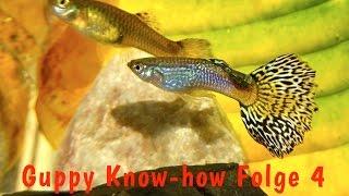 Guppy Know-how Folge 4: Schwarmzucht vs. Linienzucht, Guppys züchten, Aquaristik Dokumentation